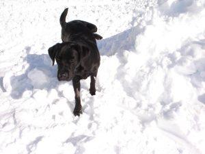 labrador-nero-che-fa-pipì-sulla-neve