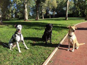 tre cani seduti in un parco concentrati sui propri adopter sereni e rilassati nonostante le distrazioni